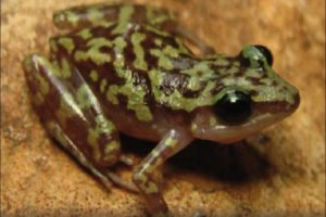 This new species of frog was found in the Manantlán Sierra.