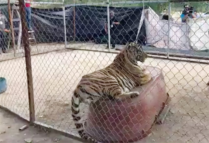 One of the Bengal tigers seized in Sonora.