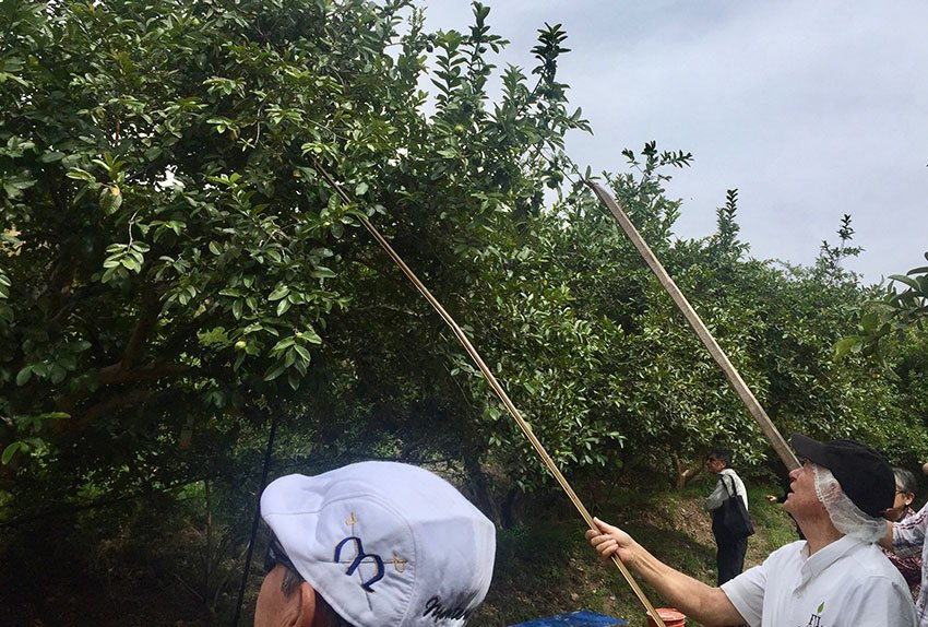Looking for the biggest guava.