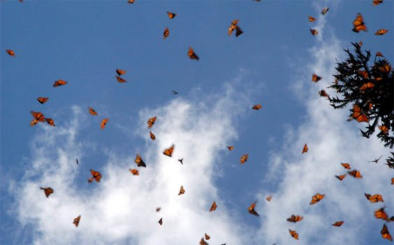 Monarch butterflies en route from the US and Canada.