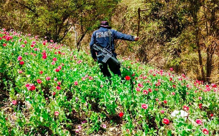 Poppy production is up, but so are efforts to destroy crops.