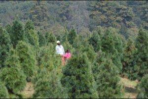 A Christmas tree plantation in Puebla.