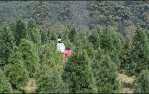 A Christmas tree plantation in Puebla.