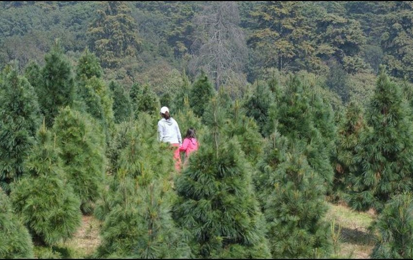 Growers Will Have 466 000 Natural Christmas Trees Available