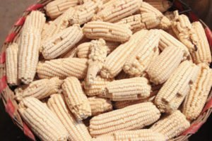 AMLO has declared himself against GM corn.