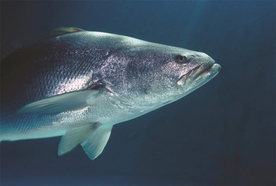 The totoaba's swim bladder is popular in Asia.