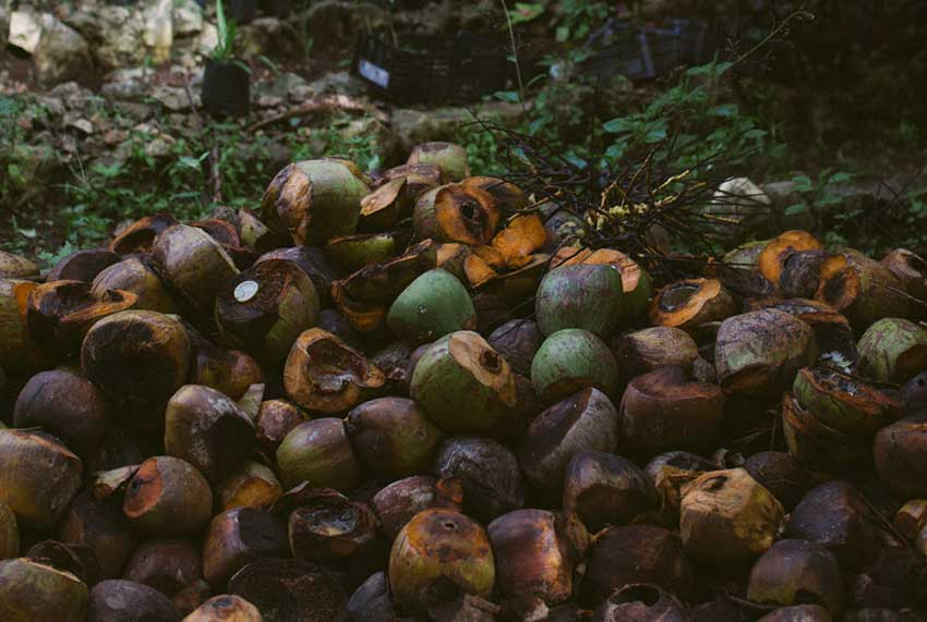 Remains of coconuts will eventually become compost and fertilizer.