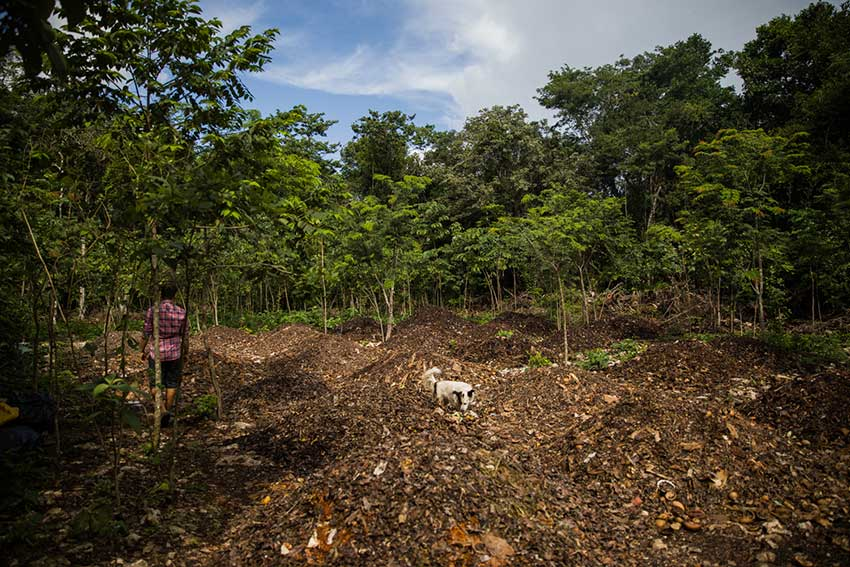 Heaps of compost occupy an open space in the jungle of Woolis Farm.