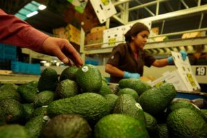 Avocados are prepared for shipping.