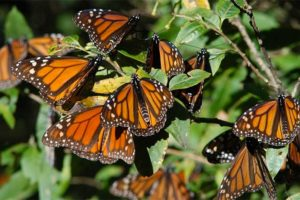 Monarch butterflies in their Mexican winter habitat.