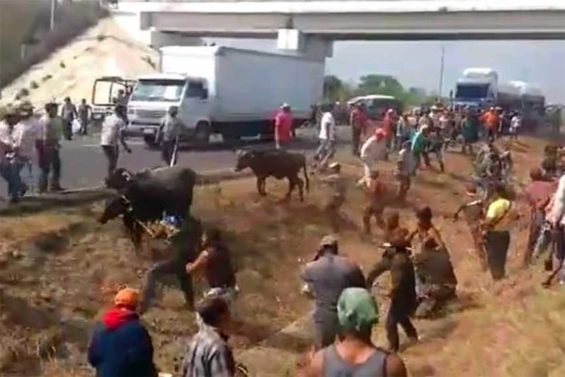 Cattle are rounded up after highway accident.
