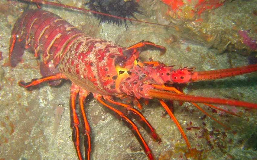The spiny lobster is not so easy to catch anymore.