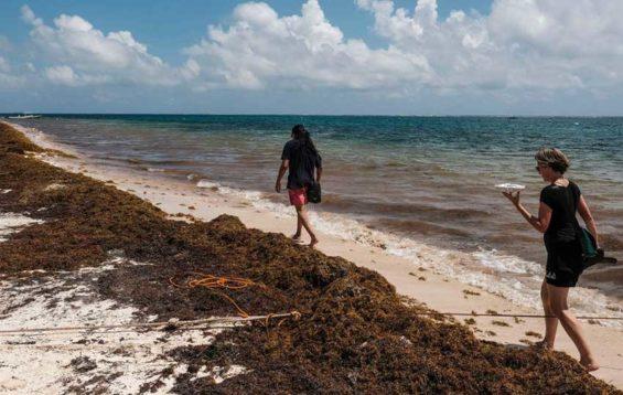 Sargassum on a Quintana Roo beach.
