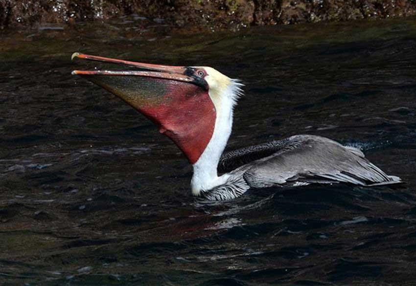 Pelican at Los Islotes.