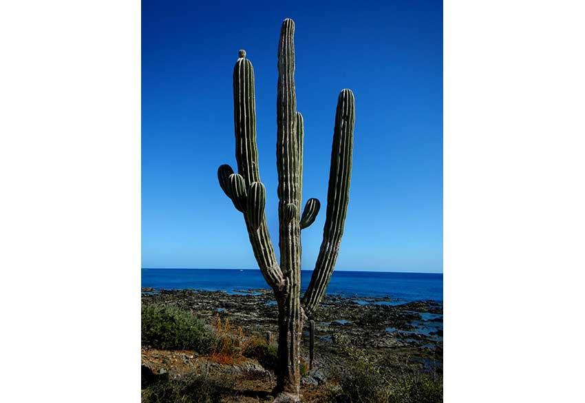 4—Cardon-worlds-tallest-cactus
