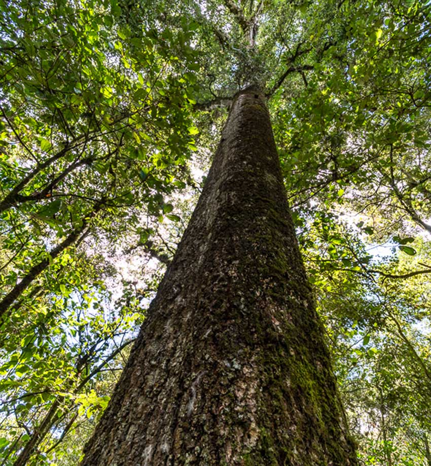 Looking up from the base of a large tree in Reserva Huitepec.