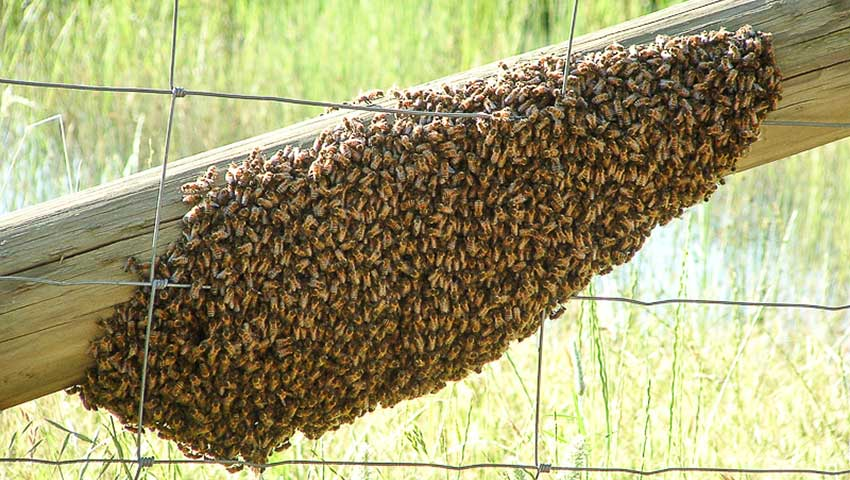 A swarm of bees attacked two women in Sinaloa.
