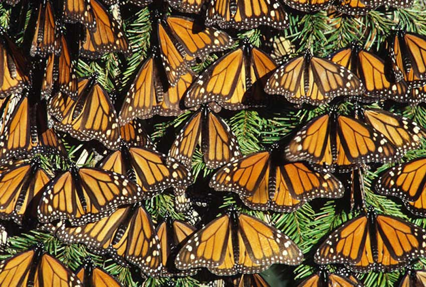 Butterflies overwintering in Mexico.