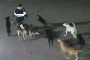 Video clip shows the dogs just before they attacked.