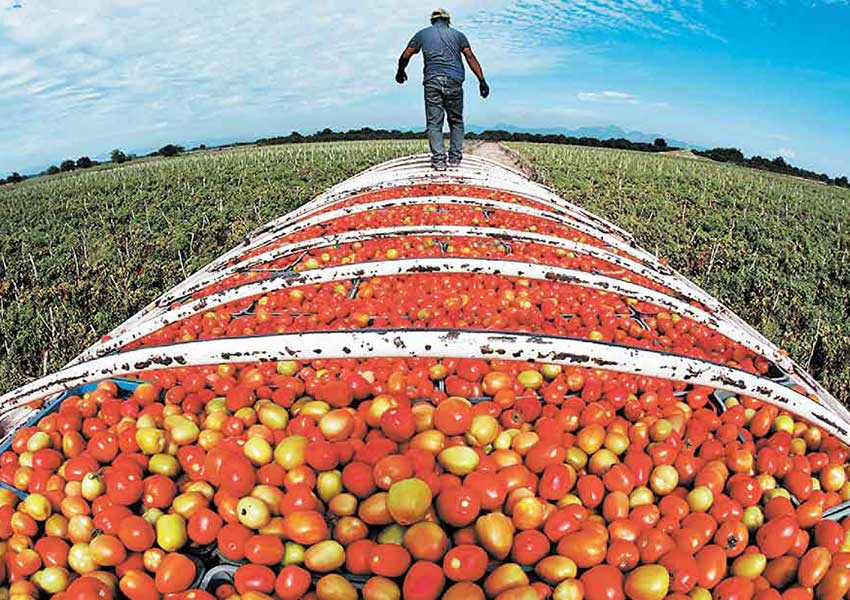 A farmworker walks on top of a truckload of tomatoes.