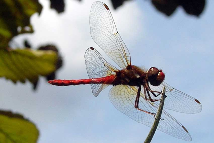 8—Dragonfly