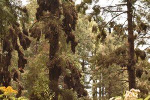 Swarms of monarch butterflies at the El Rosario Sanctuary.