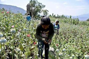 Children at work in a Guerrero poppy field.