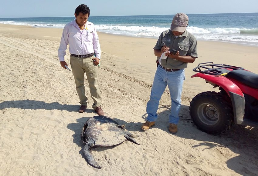 Officials check out a dead turtle on a Guerrero beach.