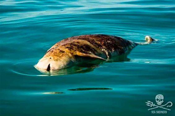 A dead vaquita in the Gulf of California