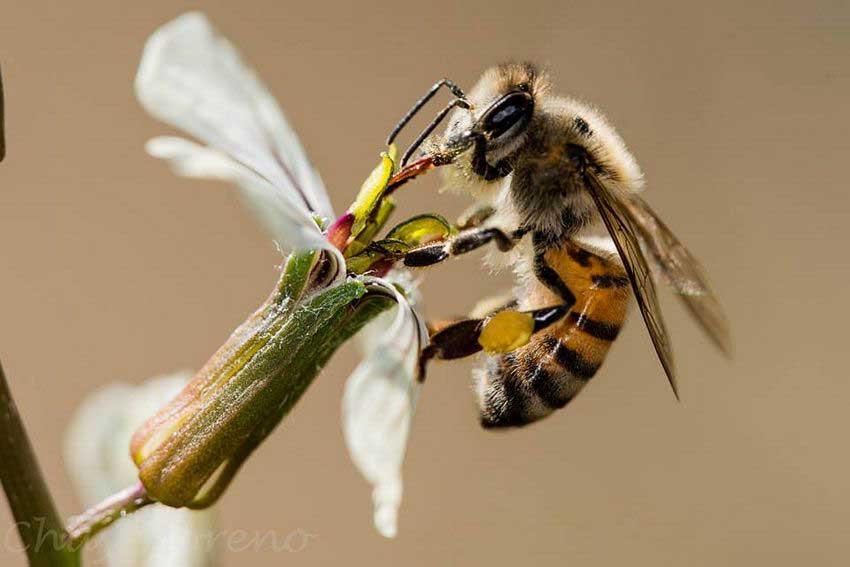 1—Abeja-melifera-sobre-flor-de-argula