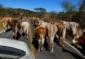 1—aa-cows