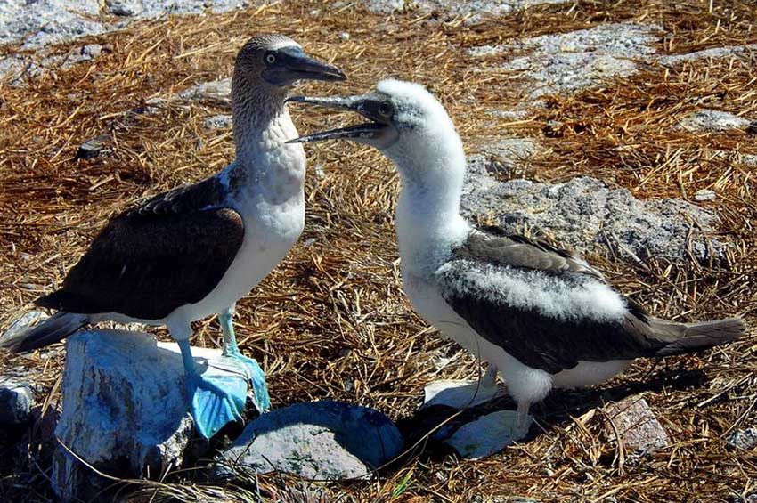 3—Blue-Footed-Booby-w-Booby-Baby