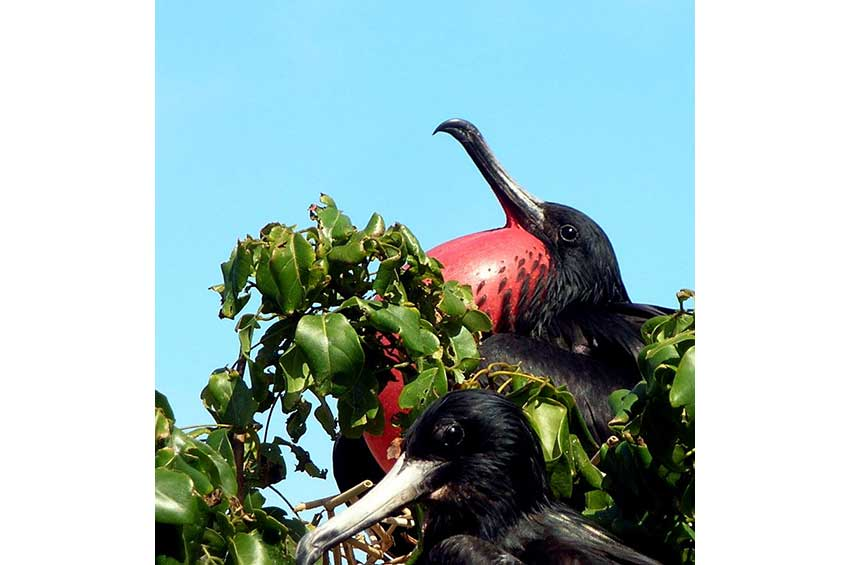 7—GR-Proud-Frigate-Bird
