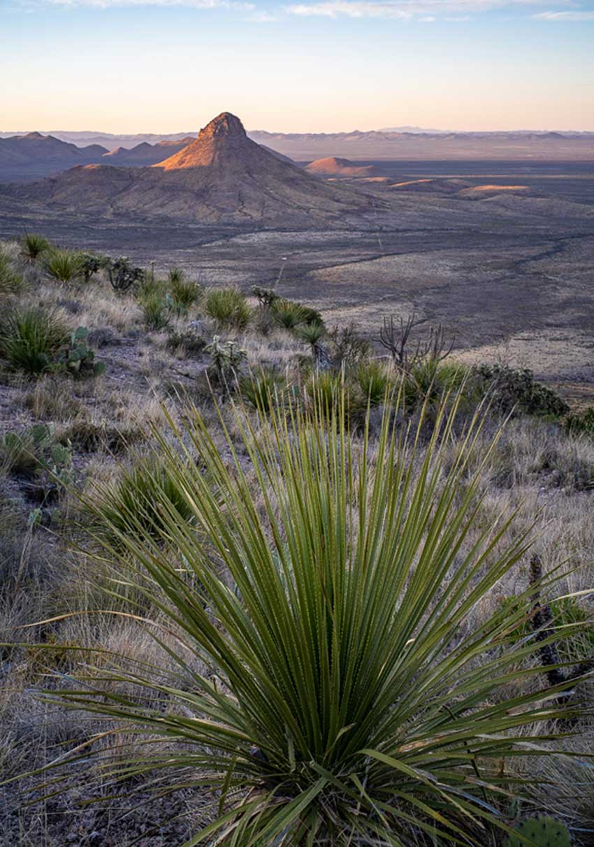 A desert spoon plant, source of sotol, at the top of a ridge overlooking the vast desert.
