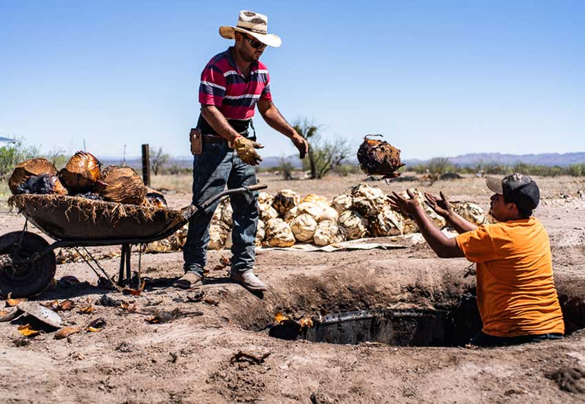 Workers move the roasted desert spoon hearts from the underground pit.
