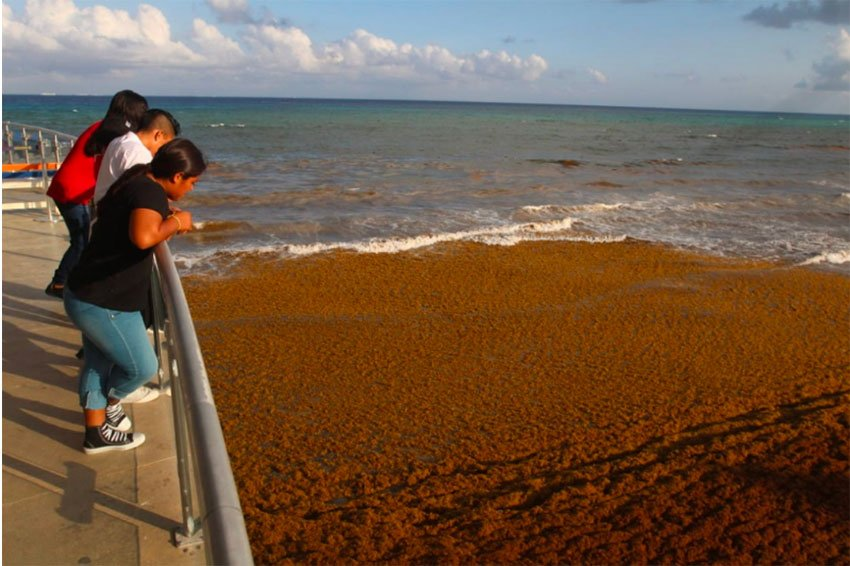 Sargassum yesterday in Playa del Carmen.