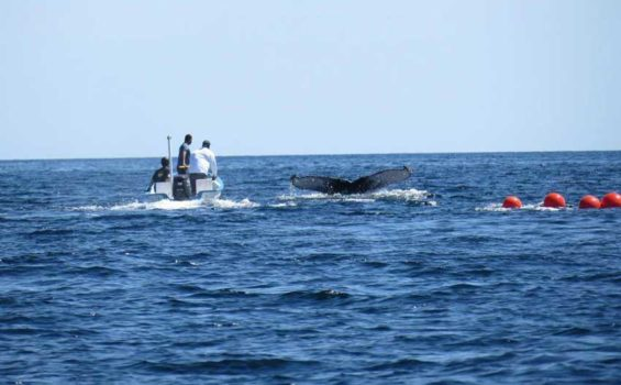 The humpback whale and rescue workers off the Baja California Sur coast.