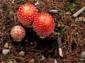 15—GR-Mushroom-Trio