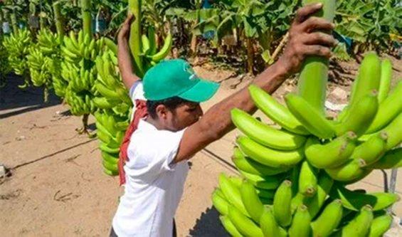 mexican bananas
