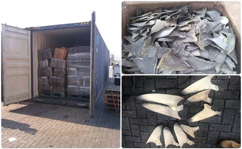 Confiscated shark fins in Manzanillo.