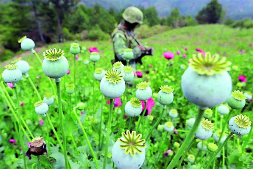 A soldier in a Guerrero poppy field.