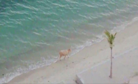 The cow enjoys the beach at San Carlos.