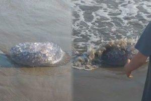 Visitors to Maviri beach in Sinaloa captured these images of the stinging jellyfish.