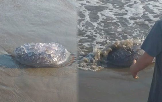 Visitors to Maviri beach in Sinaloa captured these images of the stinging jellyfish.