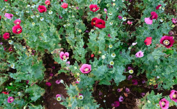 Opium poppy cultivation was up 20% in 2017.