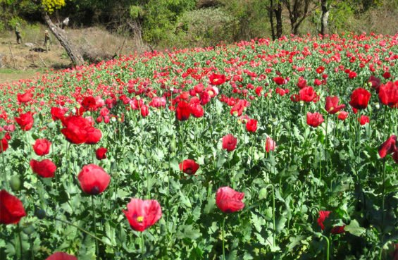 Mexico's poppy production remained high last year.