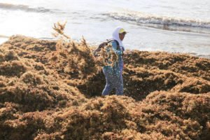 A man removes seaweed from a Quintana Roo beach.