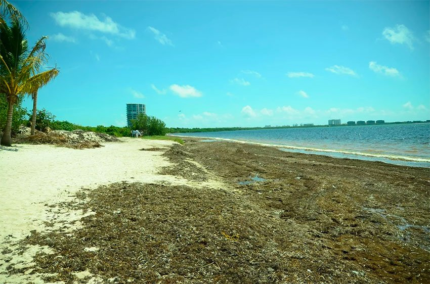 Massive amounts of sargassum arriving on Quintana Roo beaches
