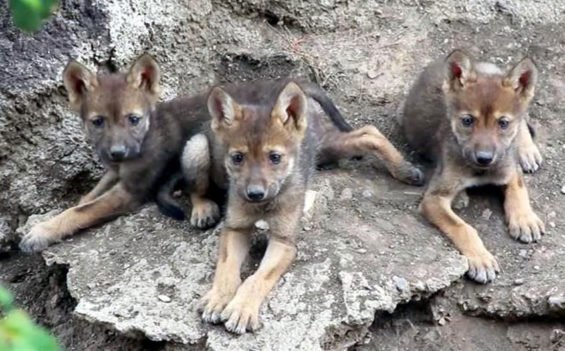 The wolf pups born at Coahuila's Desert Museum.