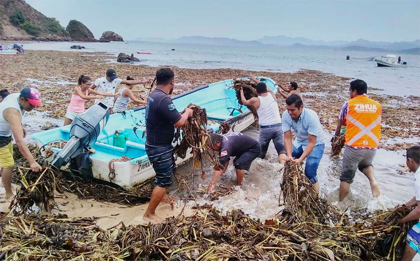 Workers clean up the tonnes of water lilies that arrived on this Ixtapa beach.